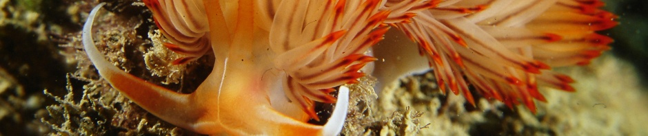 nudibranchi Numana 004